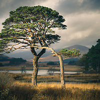 Scots pine on Loch Tulla, Argyll and Bute