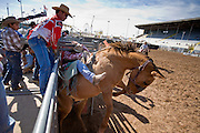 November 2, 2008 -- PHOENIX, AZ: A bareback rider leaves the chute on his bronc at the Arizona High School Rodeo at the Arizona State Fair in Phoenix. Teams from across the state participate. The Arizona High School Rodeo Association sponsors a full season of high school rodeo that culminate in a championship rodeo in June.  Photo by Jack Kurtz