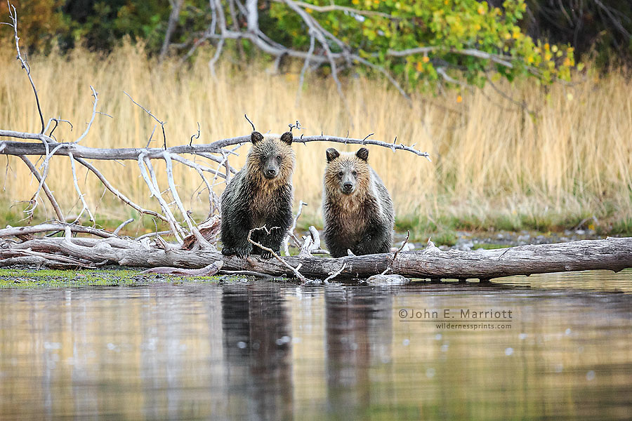 Grizzly bear cubs, BC, Canada