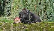 Zaire a 16.5 stone gorilla at London Zoo celebrates her 40th birthday by eating a cake especially made by The Great British Bake Off runner up Richard Burr.<br /> <br /> 23rd October 2014 <br /> at London Zoo, Regent's Park, London, Great Britain <br /> <br /> <br /> Zaire, 40 <br /> London Zoo's oldest female gorilla <br /> <br /> <br /> Photograph by Elliott Franks <br /> Image licensed to Elliott Franks Photography Services