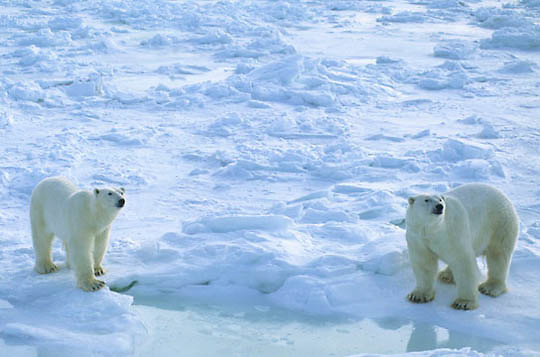Polar Bear, (Ursus maritimus) Adults waiting for ice to freeze on Hudson Bay. Churchill, Manitoba. Canada.