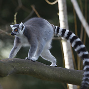 A Ringtailed Lemur at the Orana Wildlife Park, Christchuch, New Zealand. Lemurs have no real predators other than man, but are considered endangered because of loss of habitat through forest clearing. Set on 80 hectares, Orana Wildlife Park is New Zealand's only open range zoo.  Over 400 animals from 70 different species are displayed. Mcleans Island Road, Christchurch, New Zealand. 9th June 2011. Photo Tim Clayton.