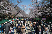 A mass of people flock to Ueno Park in Taito Ward, Tokyo, to view the flowering cherry blossoms on April 3 rd, 2017. The Japan Meteorological Agency announced the full bloom of someiyoshino cherry blossoms in Tokyo on Sunday, one day earlier than the average year and two days later than last year. 03/04/2017-Tokyo, JAPAN