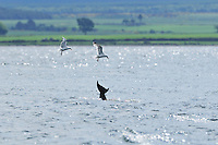 Herring Gulls feeding on scraps of fish after a successful hunt by Bottle-nosed Dolphins,<br /> Tursiops truncatus,<br /> Moray Firth, Nr Inverness, Scotland - June