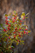 Ripe winterberries will become food for wildlife