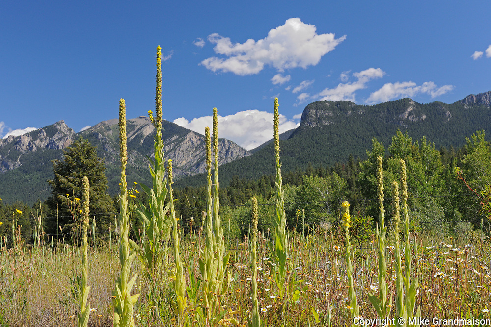 Common mullein (Verbascum thapsus), Near Invermere, British Columbia, Canada