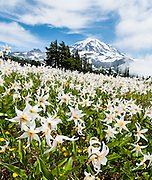 Fields of White Avalanche Lilies bloom in late July along the trail in Spray Park, in Mount Rainier National Park, Washington, USA. Erythronium montanum (in the Liliaceae family) is native to the alpine and subalpine Olympic and Cascade Ranges of the Pacific Northwest and coastal British Columbia, in North America. Avalanche Lilies bloom as snow melts in late spring and early summer in damp subalpine woodlands and alpine meadows. This panorama was stitched from 3 overlapping photos.