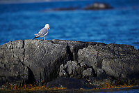 Herring Gull (Larus argentatus) peched on rocks, Crescent Beach, Nova Scotia, Canada