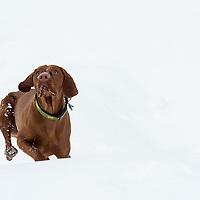Vizsla Dog in Whistler