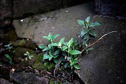 UK ENGLAND LONDON 25MAR14 - Urban vegetation in the cracks of a brick wall in Southwark, London.<br /> <br /> jre/Photo by Jiri Rezac<br /> <br /> © Jiri Rezac 2014