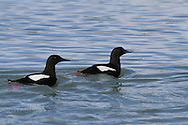 Black guillemots (Cepphus grylle) swim in the waters of Kongsfjorden, Svalbard.