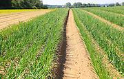 Green lines of onion crop growing in sandy soil, Sutton, Suffolk, England, UK