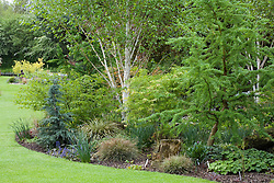 Larix decidua 'Little Bogle' syn L. europaea (larch) with Betula utilis var. jacquemontii (silver birch) and Tsuga mertensiana 'Blue Star'