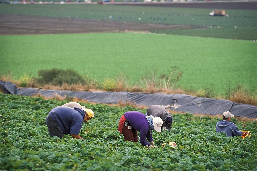 WATSONVILLE, CALIFORNIA - Farm workers harvest strawberries