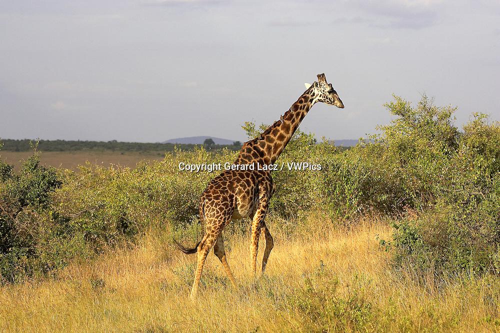 Rothschild's Giraffe, giraffa camelopardalis rothschildi, Adult in Savannah, Masai Mara Park in Kenya