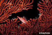 long-nose or longnose hawkfish, Oxycirrhitus typus, on sea fan, Vitu Islands, Bismarck Arch, Papua New Guinea ( Bismarck Sea )