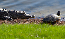February 28, 2019 - Palm Beach Gardens, Florida, U.S. - A gator eyes a turtle along the 13th hole during the first round of the Honda Classic Thursday at PGA National Resort and Spa. (Credit Image: © Allen Eyestone/The Palm Beach Post via ZUMA Wire)