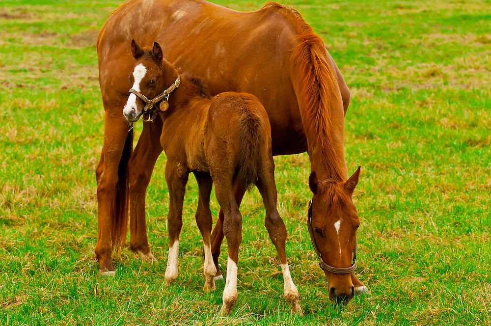 Thoroughbred mare and foal, Stonestreet Farms, Versailles (near Lexington), Kentucky USA
