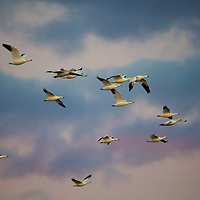 Canadian Geese filling the early morning skies over the refuge.