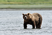 A grizzly bear boar looks for chum salmon in the lower lagoon at the McNeil River State Game Sanctuary on the Kenai Peninsula, Alaska. The remote site is accessed only with a special permit and is the world's largest seasonal population of brown bears.