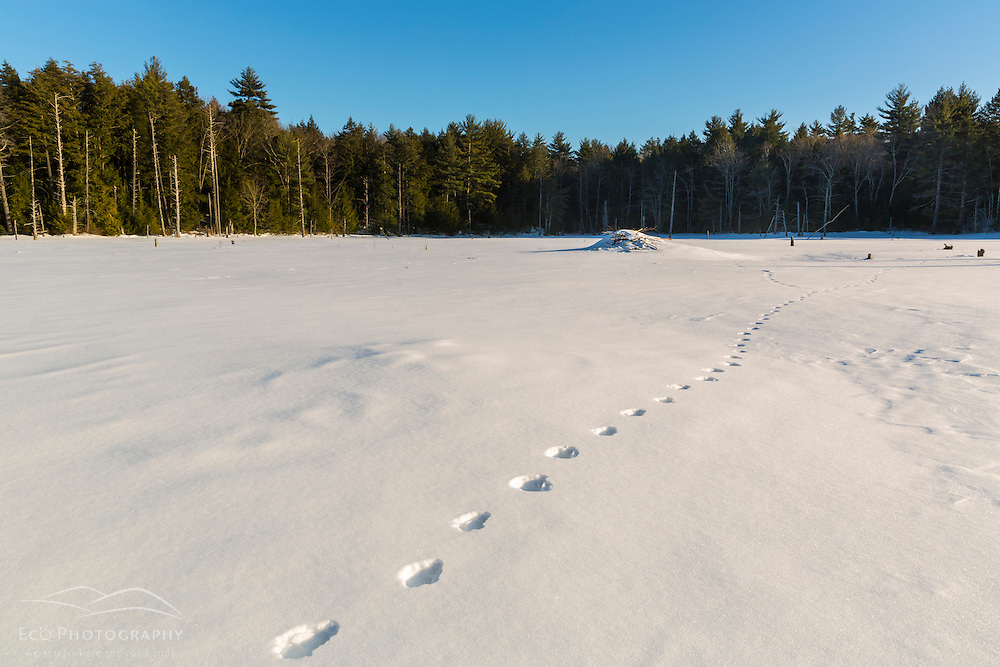 Coyote tracks and a beaver lodge on a frozen beaver pond in Epping, New Hampshire.