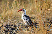Red-billed Hornbill, Grumet, Tanzania, East Africa