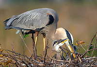 Great Blue Heron, (Ardea herodias), on nest with chicks,  Wakodahatchee Wetlands, Delray Beach, Florida, USA   Photo: Peter Llewellyn