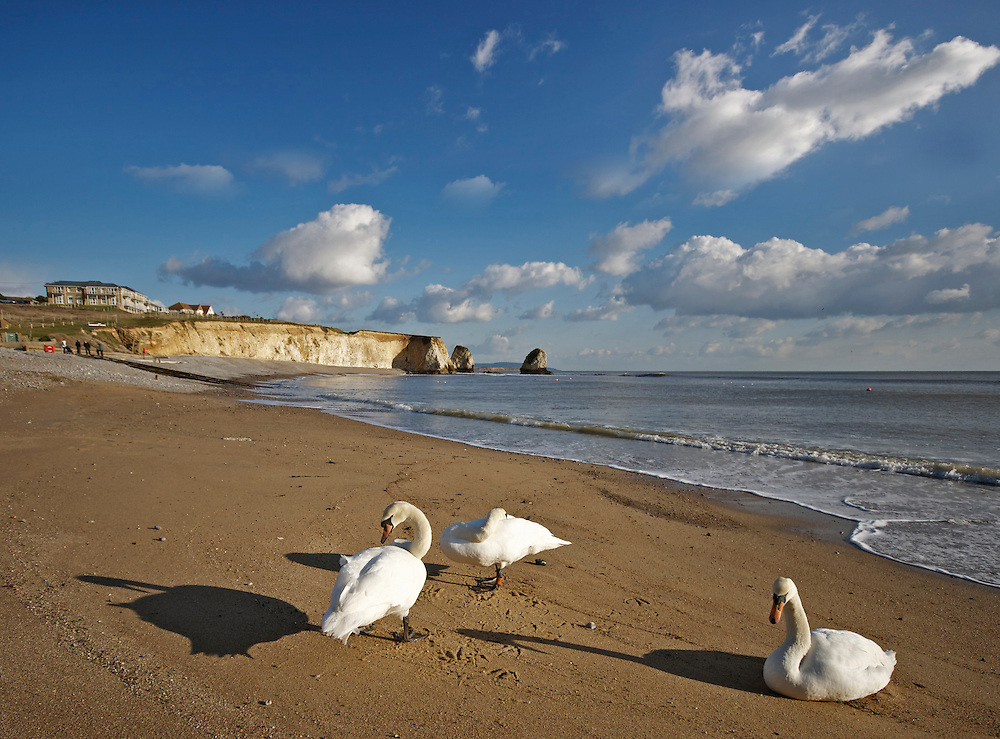 Swans on the beach at Freshwater Bay, Isle of Wight, UK
