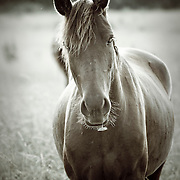Curious horse eating flowers in a meadow on an early summer morning in Missouri.