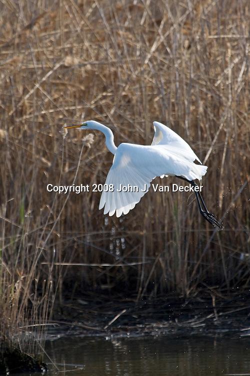 Great Egret, Ardea alba, taking off from salt marsh