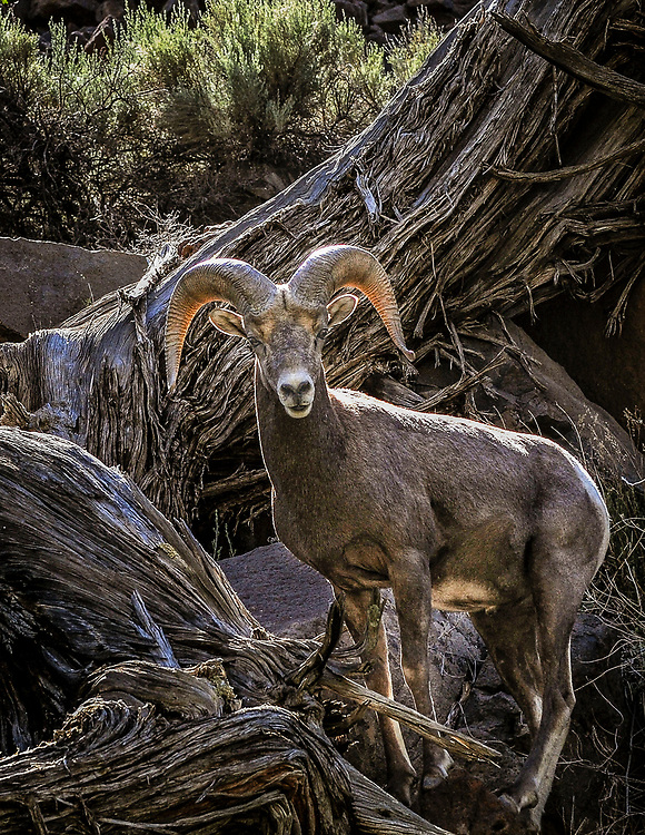 jt062917d/ a sec/jim thompson/ A Bighorn Sheep ram looks out over the Rio Grande in the middle box area of the Rio Grande Gorge.  Thursday June. 29, 2017. (Jim Thompson/Albuquerque Journal)