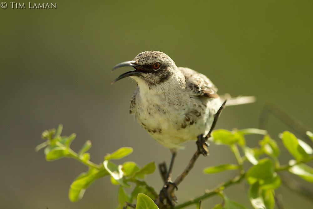 Española (Hood) Mockingbird (Mimus macdonaldi)