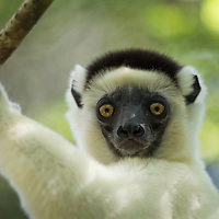 Madagascar, Reserve Forestiere de Kirindy (Kirindy Forest Reserve), Portrait of Verreaux's sifaka (Propithecus verreauxi) in deciduous forest