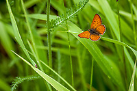Lycaena n. nivalis (Lilac-bordered Copper) ♂ at Quaking Aspen, Tulare Co, CA, USA, on 09-Jul-17