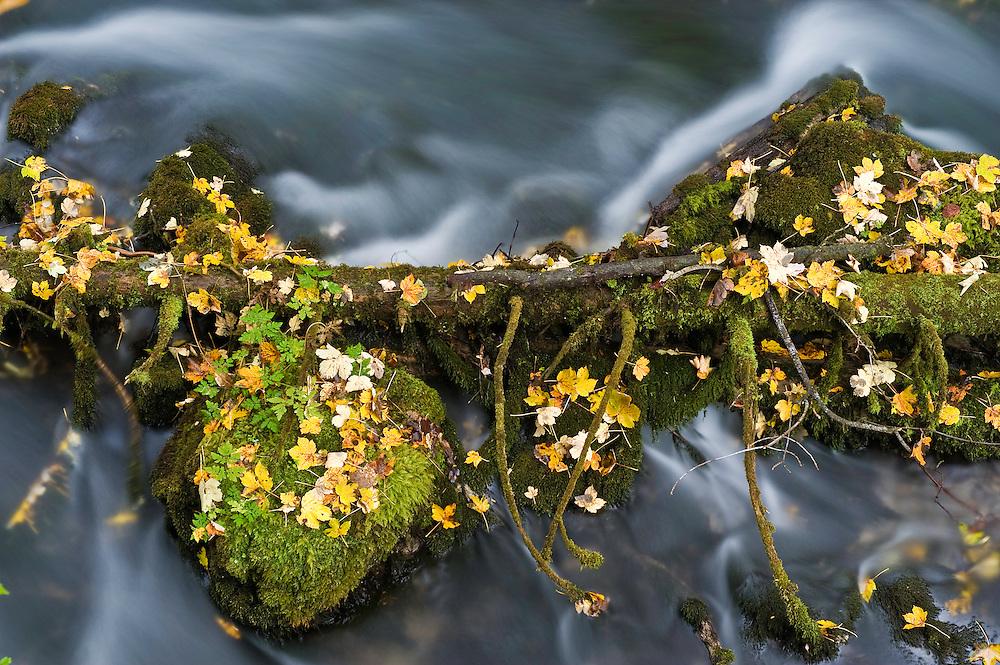 Black River Crna Rjieka springs, trunks, maple leaves and moss-covered rocks, Plitvice National Park, Croatia