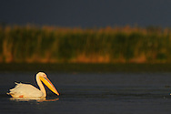 White pelicans, Pelecanus onocrotalus, Danube delta rewilding area, Romania