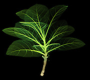 An xray of a tobacco plant.