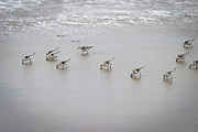 Dunlin (Calidris alpina) near the surf along the Oregon Coast near Siletz Bay. Winter