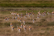 Herd of Thomson's gazelles, Serengeti National Park, Tanzania.