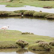 Flamingo. Colca Canyon, Arequipa, Peru.