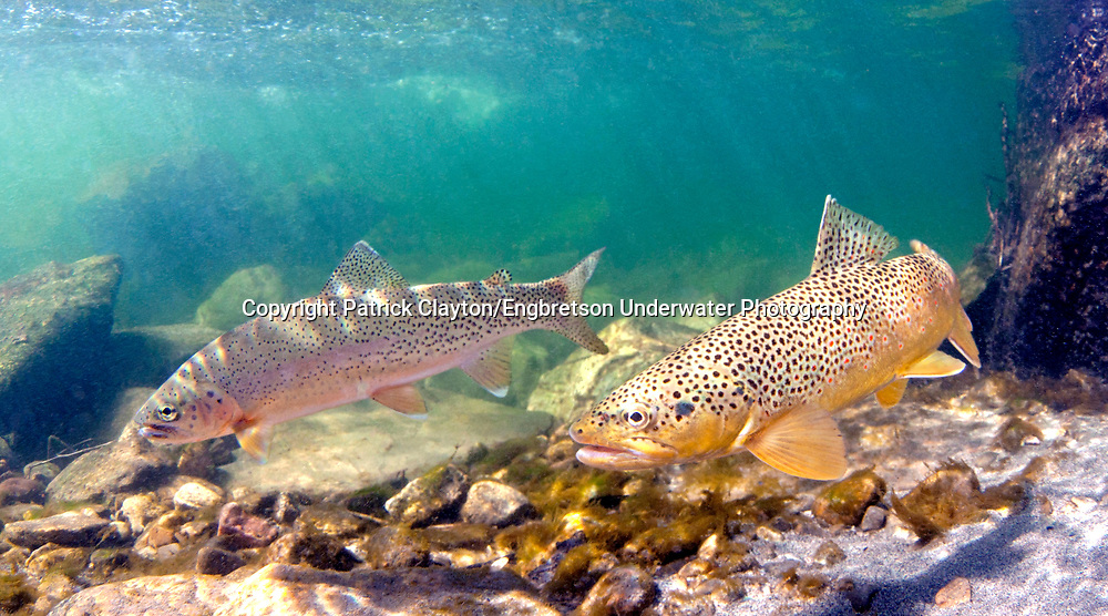 Brown Trout (with Rainbow Trout in background)<br />