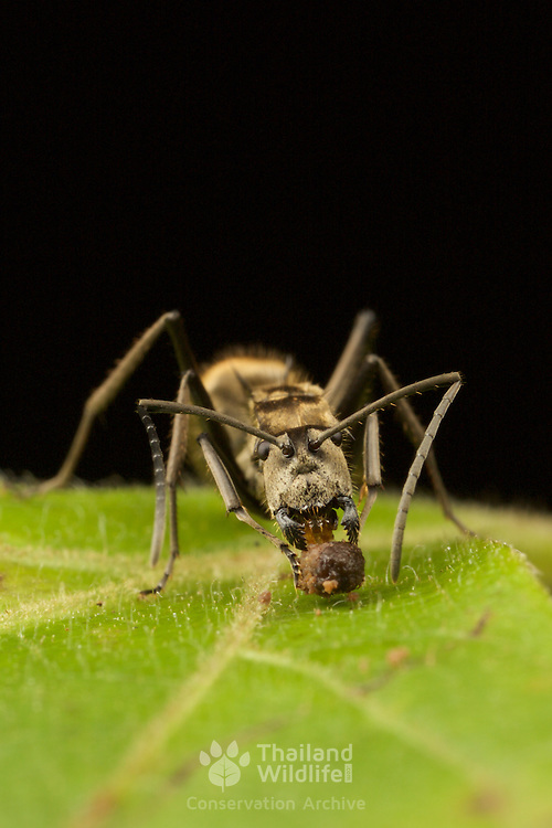 Polyrhachis sp. ant. Nam Nao National Park, Thailand.