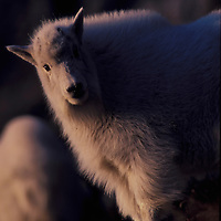 Mountain goat kid in winter coat at sunset. Glacier National Park, Montana.