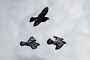 A trio of Rock Pigeon (Columba livia) in flight.  These pigeons are considered feral