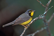 Canada Warbler - Wilsonia canadensis - Adult male