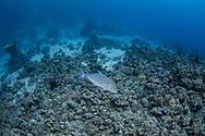 Bluefin trevally-Carangue bleue (Caranx melanpygus) of Red Sea, Sudan.