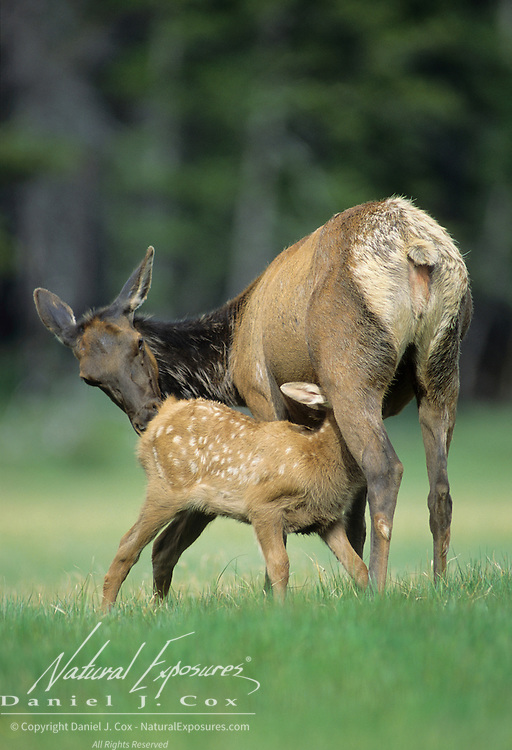 Elk (Cervus canadensis) calf nursing in a meadow during early summer in Wyoming.