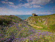 Bluebells around Dunskey Castle Nr Portpatrick, Dumfries & Galloway.
