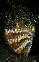 Amphioctopus marginatus, also known as the coconut octopus and veined octopus Lembeh Strait
