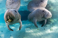 Florida manatee, Trichechus manatus latirostris, a subspecies of the West Indian manatee, endangered. Two curious manatees float in the springs while one plays with a rock in its mouth. Manatee play series. Horizontal orientation, reflection, strong sun rays and blue water. Three Sisters Springs, Crystal River National Wildlife Refuge, Kings Bay, Crystal River, Citrus County, Florida USA.
